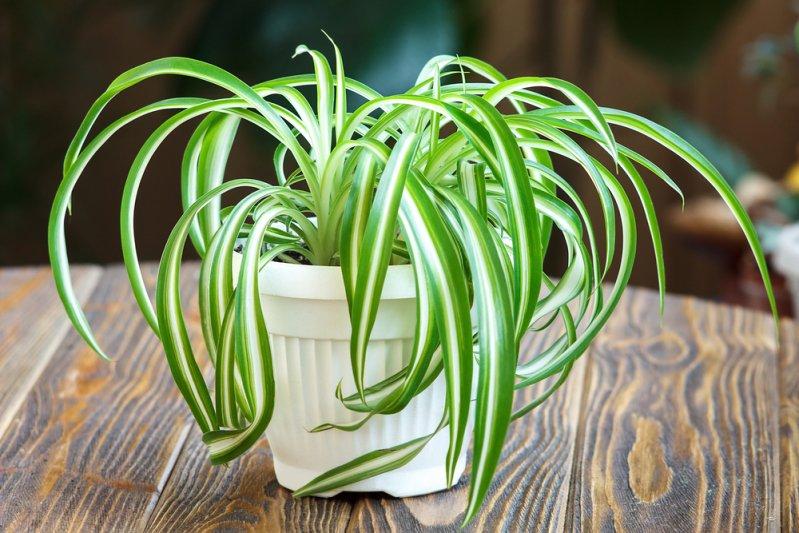 Le chlorophytum chevelu