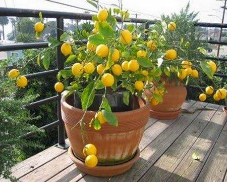 Méthode pour la germination des pépins de citron