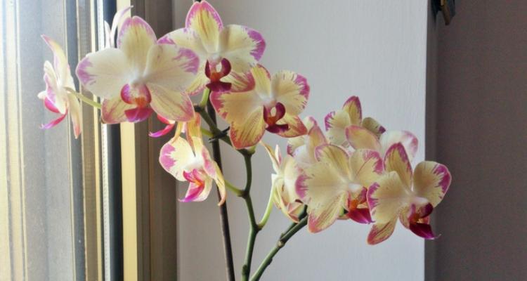 Exposez les orchidées à la lumière