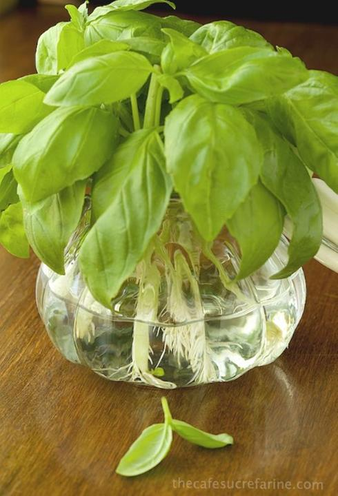 Astuces pour faire pousser les légumes: Le basilic